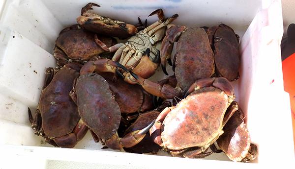 Heldige oss som har privat krabbefisker i pappa! Bra fangst ble det også :)